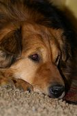 image of dog eye  - close up photo of sad dog - JPG