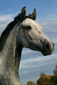 foto of horse head  - horse shagya arab a white horse portrait - JPG