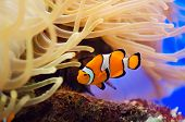 image of clown fish  - a photo of a fish and anemone