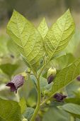 picture of belladonna  - Deadly Nightshade - Atropa belladonna