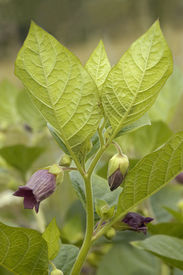 pic of belladonna  - Deadly Nightshade - Atropa belladonna Flowers of poisonous plant - JPG