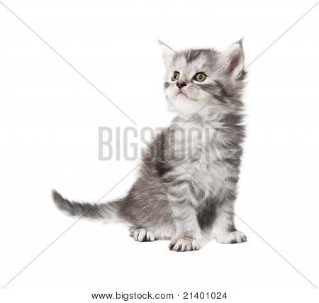 Small Grey  Kitten