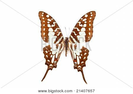 Brown And Green Butterfly Graphium Antheus Isolated On White Background
