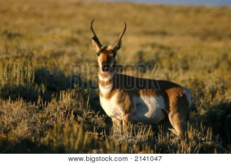 Pronghorn Antelope Buck Posing