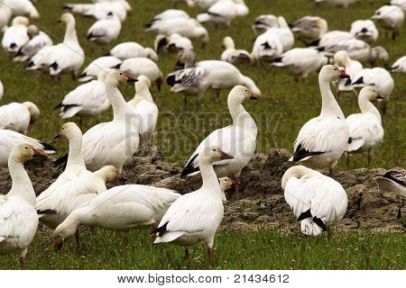 Snow Geese Flock Close Up Skagit County Washington