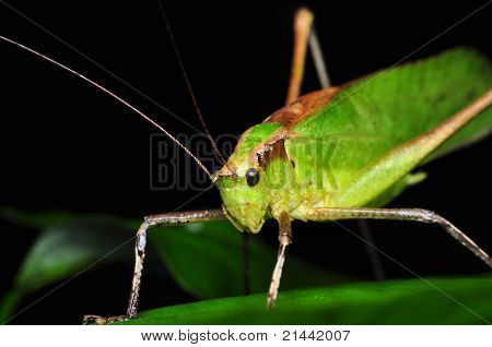 Katydid - Are you looking at me