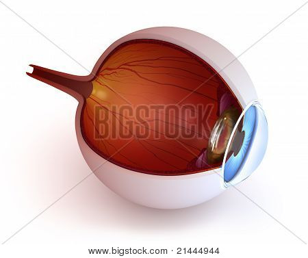 Anatomy of eye - inner structure isolated on white