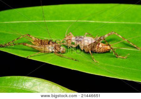 Cricket with its carcase