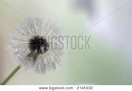 Löwenzahn seedhead