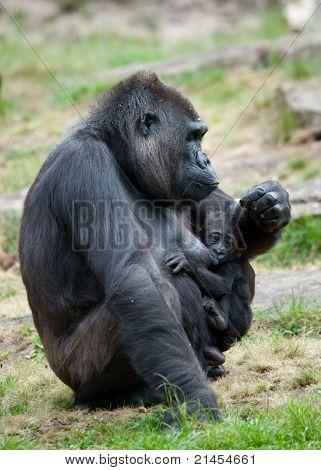 Gorilla und ihr Baby