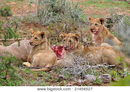 Three lion cubs eating the kudu antelope