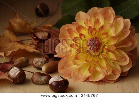 Dahlia Autumn