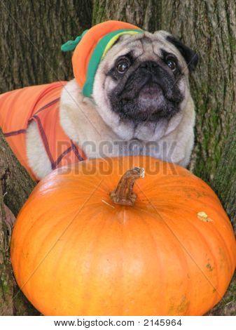 Dressed Up Pumpkin Pug Dog
