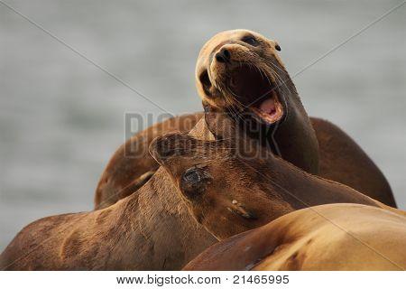 Sea Lion Giving A Bark