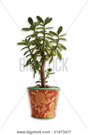 Crassula plant isolated on white.