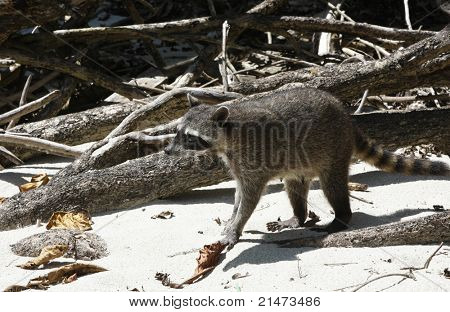 Racoon on the beach in Manuel Antonio National Park (Costa Rica)