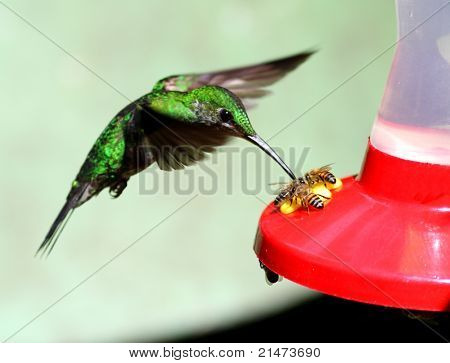 Hummingbird and bees visiting a feeder (Monteverde, Costa Rica)