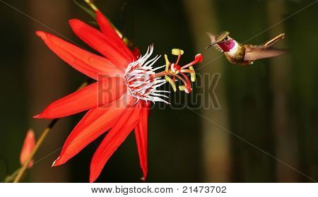 Red passiflora coccinea with hummingbird (Costa Rica)