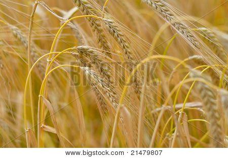 Barley, Hordeum Vulgare