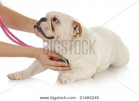 veterinary care - english bulldog having heart examined with stethoscope on white background