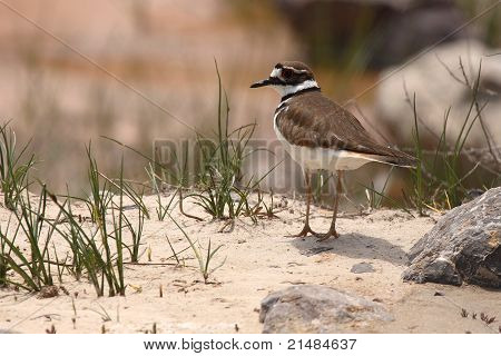 Killdeer On Sandy Shore