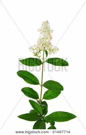Wild Privet (ligustrum Vulgare)