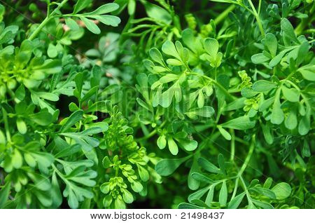 Common Rue (ruta Graveolens)