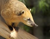 pic of coatimundi  - A Coati Family Procyonidae with Golden Fur Perched on a Log