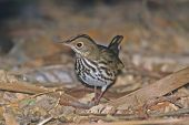 image of ovenbird  - Ovenbird searching the forrest floor for food and water