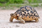 image of tortoise  - The Leopard tortoise  - JPG