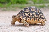 foto of tortoise  - The Leopard tortoise  - JPG