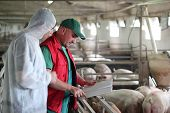 picture of swine flu  - Veterinarian doctor with farm worker at a pig farm