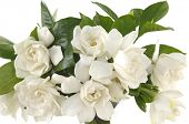 picture of gardenia  - bouquet gardenia plant isolated on white - JPG