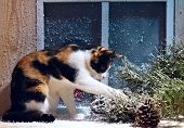 Funny Three Colour Home Cat Sitting On The Window Sill Looking For Something In Pine Branch.frosted poster