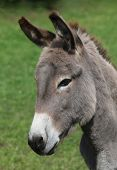 stock photo of hustler  - donkey - JPG
