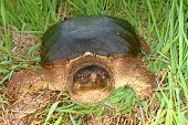 stock photo of winnebago  - Snapping Turtle  - JPG