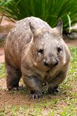 stock photo of wombat  - Common wombat - vombatus ursinus from Australia