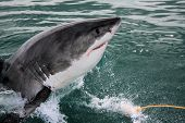 stock photo of great white shark  - Great white shark breaking the surface in South Africa.