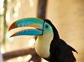 Head Of  Toucan