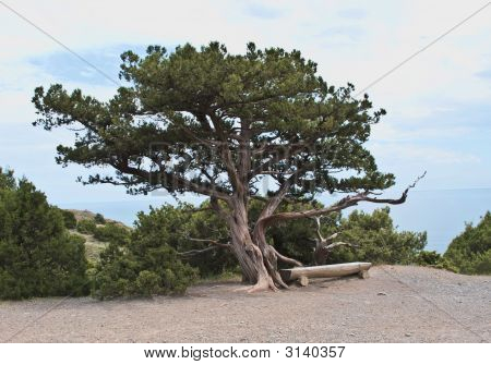 An Old Pine-Tree