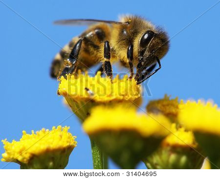 honeybee pollinated of yellow flower