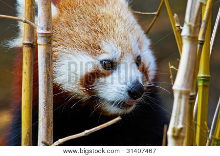 Portrait Of A Red Panda