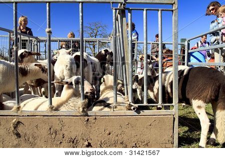 New Born Lambs In A Metal Sheep Pen