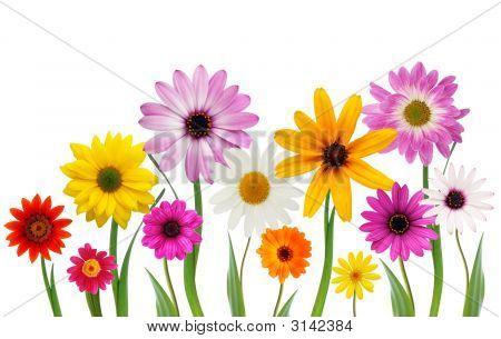 Sommer-Gänseblümchen