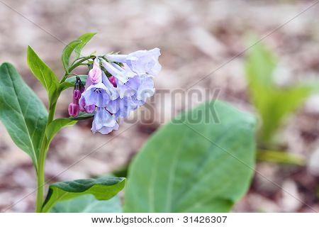 Virigina Bluebells