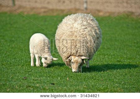 Sheep grazing in spring