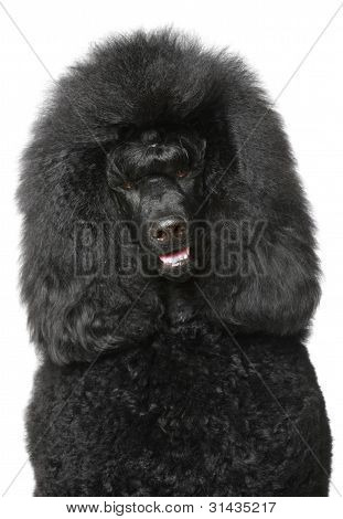 Black Royal Poodle Portrait