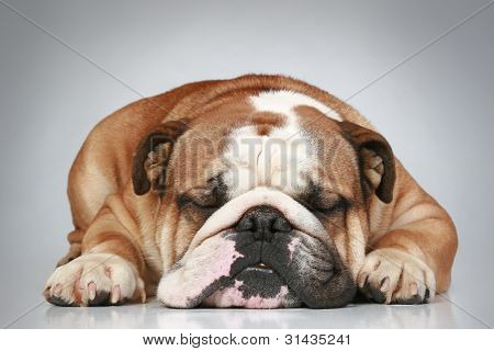 English Bulldog Lying On Grey Background