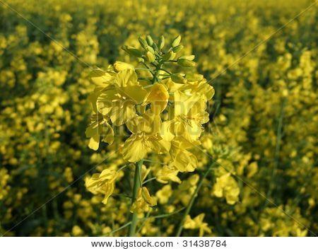 Flores amarillas de la violación