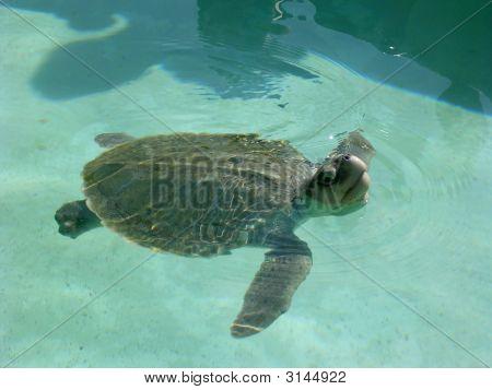 Junge Grüne Meeresschildkröte